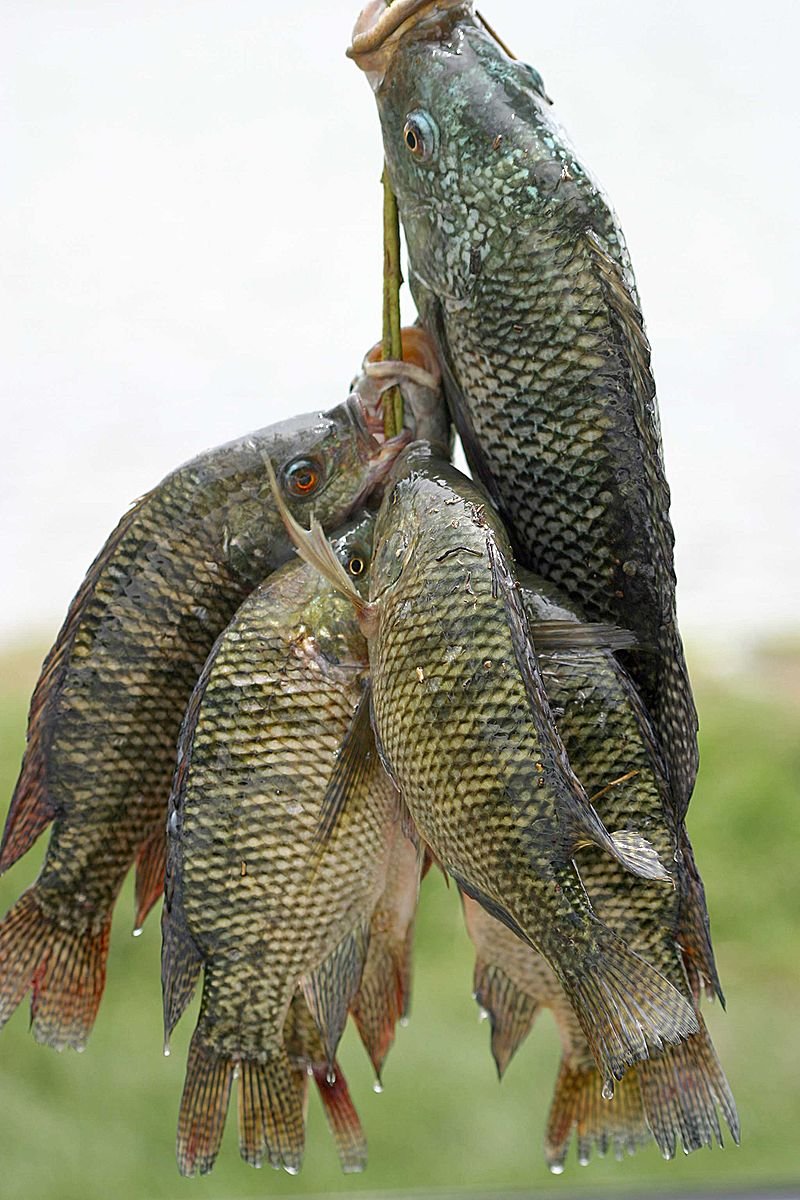 """Fresh tilapia"" av Niall Crotty - Niall Crotty. Licensierad under CC BY-SA 2.5 via Wikimedia Commons"