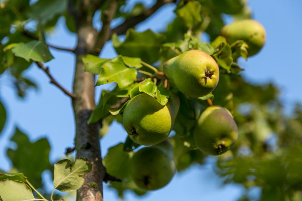 Päronen i trädgården.
